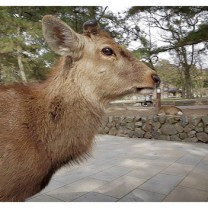 Sika Deer close to Todai-ji Temple, Nara - Japan