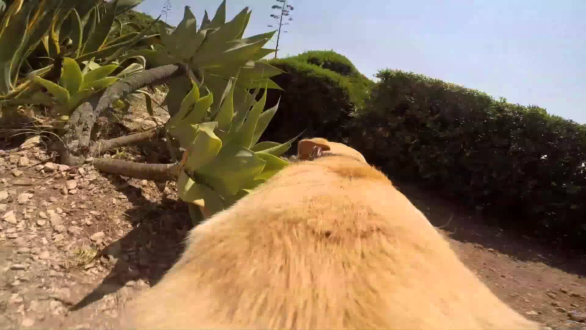 Monday Like: Excited Labrador with a GoPro Fetch